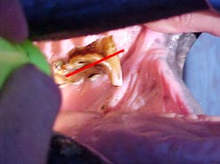 Horse teeth abnormalities including hooks
