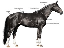 Areas on horse's body that are key to determining body score
