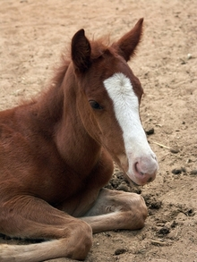 A resting foal