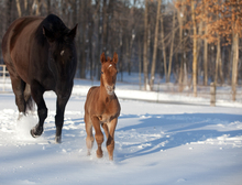 Maintaining cold weather horse health