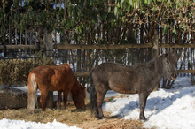 Horses foraging in the snow