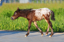 Healthy Pinto foal with overo markings