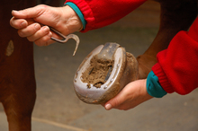 Using special tool to pick hoof