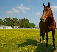 Alert horse ears