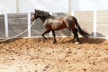 Exercising horse in round pen