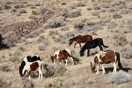 Ill-Conceived RFP for Virginia Range Wild Horses Issued in Nevada
