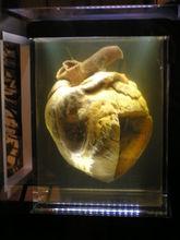Racehorse Phar Laps heart