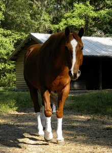 Sox for Horses - Helping stomp out the biting fly problem