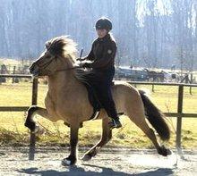Icelandic horse doing ambling tolt gait