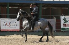 Paso fino doing the classic fino gait