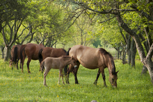 Horses and foals foraging in a natural pasture