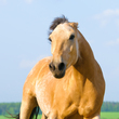 A fearful angry horse
