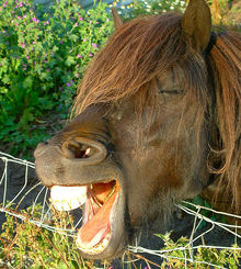 Horse laughing and showing teeth