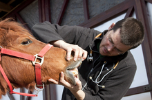 Equine dentist checking horse's mouth
