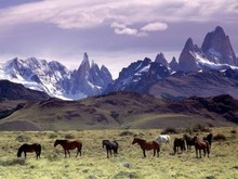 Herd of wild horses in Chile