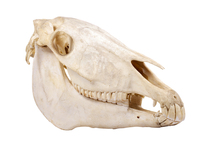 Horse skull showing tooth arrangement