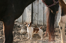 Jack Russell terrier considering horse and manure