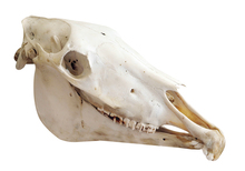 Congenital defects shown in horse skull