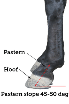 Moderate slope of pastern to dissipate concussion
