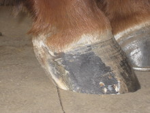 Hoof with patch removed