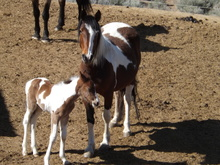Wild horses up for adoption