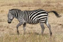 Zebras as host of herpes viruses