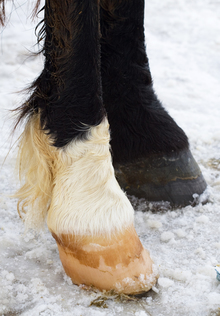 Importance of winter hoof care