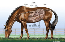 Horse's digestive system