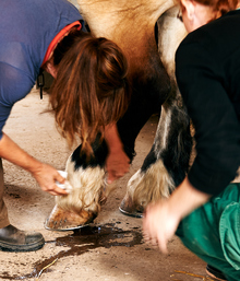 Treating a horse wound