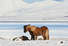 Showing ability of horses to adapt to climate change