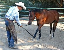 Teaching horse to accept pressure on feet and legs