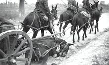 World War I horses and mules