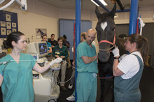 Horse treated for erratic heartbeat