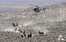 Wild horse roundup by helicopter