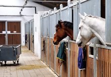 Horses in the stable awaiting feed