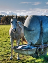Horse drinking fresh water