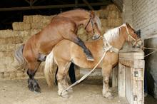 Hand breeding a stallion to a mare