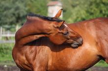 A mare half way to delivery