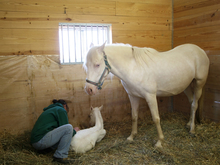 Horse owner inspecting the newborn foal