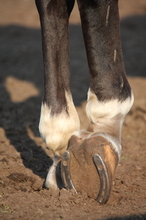 Genetics in hoof health
