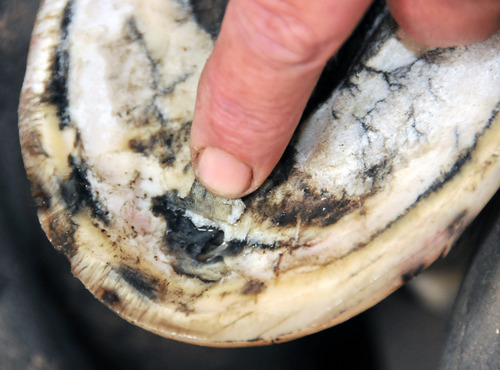 Horse Hoof Abscesses Symptoms Treatment And Prevention