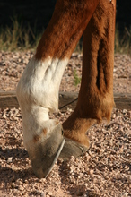 Rocky ground can damage a horse's sensitive sole