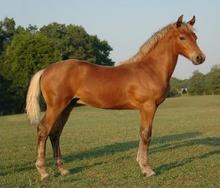 A young Morgan horse