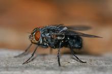 Common housefly = Horse pest