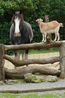 A goat as a pal