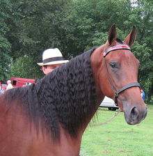 A Tennessee Walking Horse