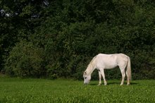 Mare in field grazing.