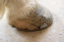 Typical horse quarter crack