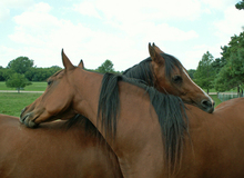 Horses engaging in mutual grooming