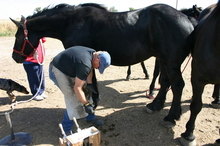 Farrier working on horse's hooves